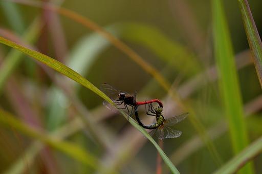 DSC_1005蜻蛉交尾.jpg