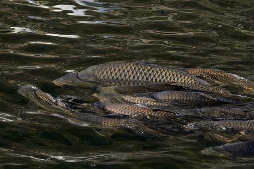 DSC_6596鯉の産卵.jpg