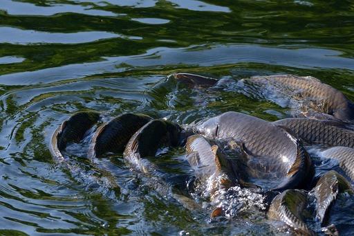 DSC_6598鯉の産卵.jpg