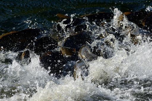 DSC_6612鯉の産卵.jpg
