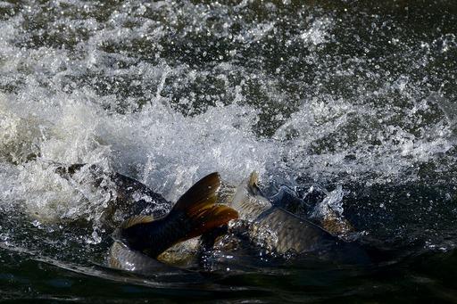 DSC_6626鯉の産卵.jpg