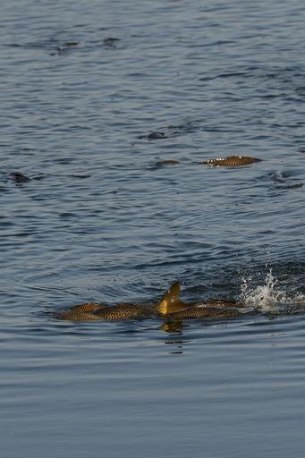 DSC_7025鯉の産卵.jpg